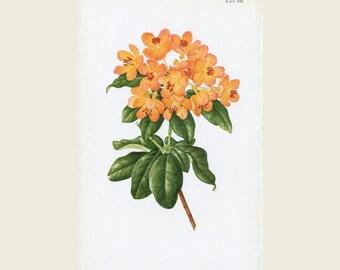 Woman Artist Margaret Stones - Orange Rhododendron, Rhododendron MacGregoriae - Curtis Botanical Magazine New Series, Original Vintage Print