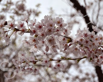 Cherry Blossom high definition photo package for download