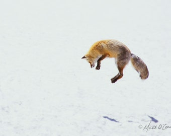 Jumping Fox in Snow Photograph — Fine Art Photographic Print from Yellowstone