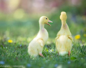 Spring Yellow Ducklings