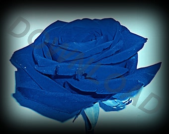 Blue Rose Digital Download, Photo Art, Wallpaper, Screensaver, Photography, Wall Art