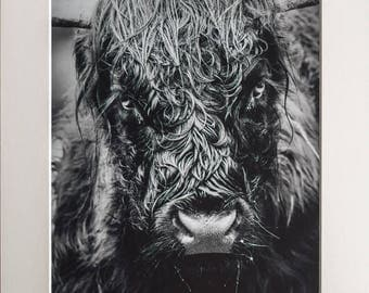Highland Cow Wall Art - Photography by Myself