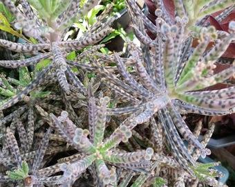 "3 Kalanchoe Tubiflora Maternity Plant  Cuttings(3-4"")"