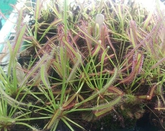 Drosera Capensis Typical 50+ Sundew Seeds