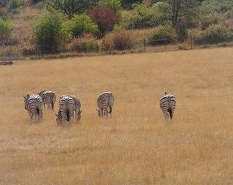 Zebra, stipes, Africa, Herd,   Fine Art Photography, Home Decor, Wall Art, Canvas Gallery Wrap
