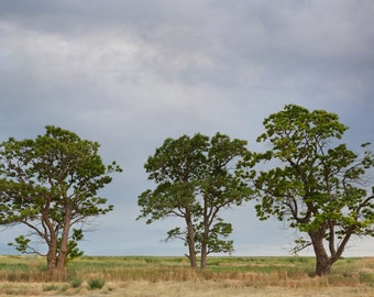 3 Trees Photograph,  Nature Photography, Trees, Prints and Canvas available, Home Decor, Art, Large Art,