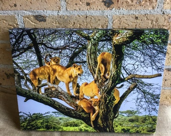 Photo on canvas lions up a tree, Tanzania Africa Amelia Bayot