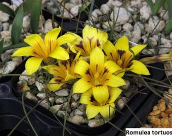 Romulea seeds (rare species) / 10 seeds per pack