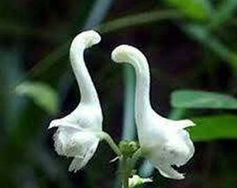 20 Swan flowers seeds ( fiore cigno 20 semi)