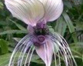 Tacca, bat flower 10 seeds/seeds-white varieties-
