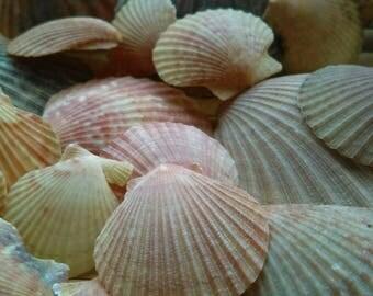 20 Rare colorful scallop shells from the Dublin Beach