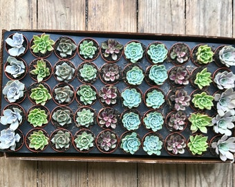 25 Rosettes succulents Only