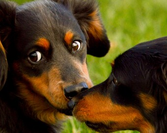 Dog Greetings Card - Two Daschunds rubbing noses