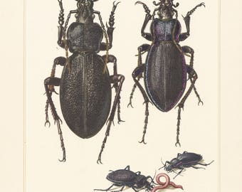 Vintage lithograph of the violet ground beetle from 1956