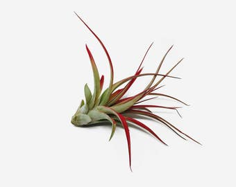 Tillandsia Red Abdita Air Plant