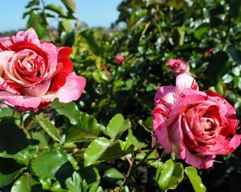 Rock n' Roll Roses