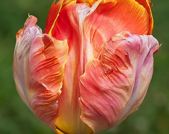 Beautiful tulip-16