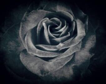 Garden Rose, photo print
