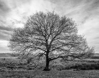 Solitary oak tree - black and white  Photograph, Monochrome tree photograph, Silhouetted oak tree print, Black and white photographic print