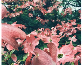 Photography - Flower Photograph - Dogwood Tree - Spring Photography - Enchanted - Fine Art Photograph - Pink Print - Alicia Bock - Oversized