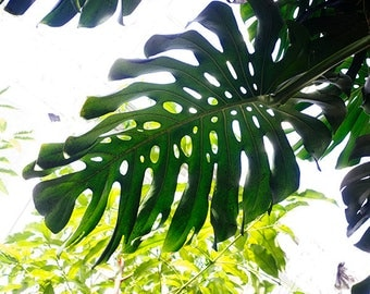 Tropical Leaf Print, Monstera Leaf Photo, Green Chartreuse Tropical Decor, Abstract Photography