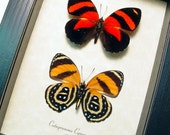 Real Framed Blood Red and Black and Orange Catagramma Cynosura Butterfly Pair 714P