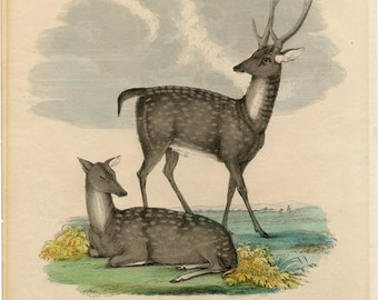 Antique Print of the Ganges Stag - 1830 Rare Hand Coloured Lithograph