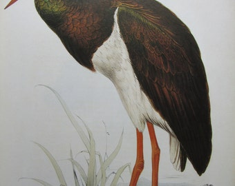 Edward Lear, Black Stork, 10 x 14 in. Color Plate, 1980s Book Page, Unframed Print