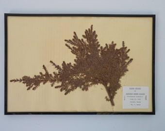 Vintage 1968 botanical specimen by Maine arborist - Ground Juniper
