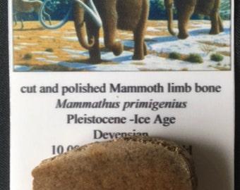Cut and Polished Mammoth Limb Bone