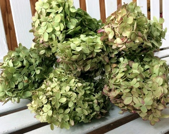 DRIED Hydrangea Flowers 6 Lovely green flowers with pink tinge flower heads on stems for Prim flowers Wedding flowers Shabby cottage floral