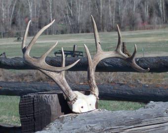 Deer antler rack
