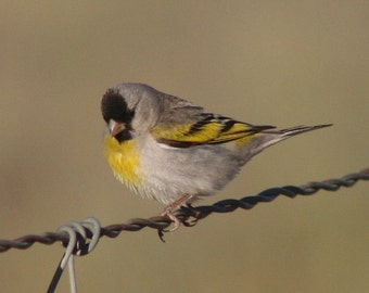 Lawrence's goldfinch: 5 x 7 photograph CHARITY DONATION