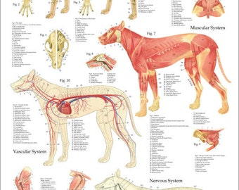 "Dog Anatomy Poster - 24"" X 36"""