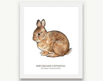Cottontail Rabbit Print - Unmatted