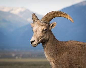 Bighorn Desert Sheep Photo, Sheep Portrait, Rio Grande, Wildlife Photo, animal photo, nature photography - fine art photograph