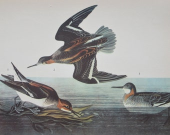 Vintage Audubon Original Northern Phalarope Plate, Wall Art