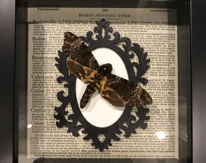 Real deaths head hawk moth taxidermy display!