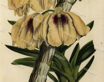 Dendrobium 1852  Hand colored  Botanical  Hand Colored  Flora Lithograph Original art wall art decorative art