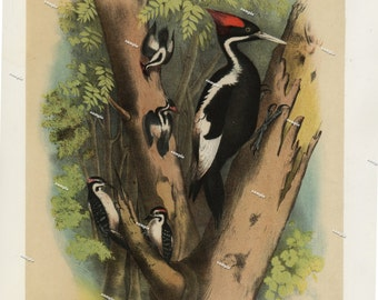 19th Century ChromoLithograph print pileated woodpecker original print decorative art nature print Birds of North America first Edition 1887