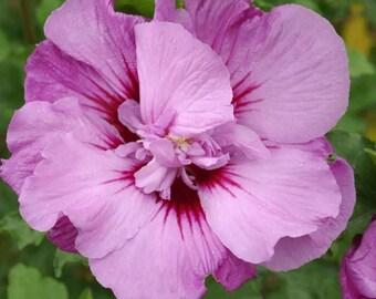 """Tahiti™ Hibiscus ( Althea ) - Rose Of Sharon - Live Plant - 4"""" JumpStarts® Plug"""