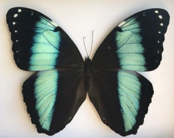Morpho Butterfly Loose // Real Butterfly // Taxidermy Butterflies // Dried Butterflies // Preserved Butterfly