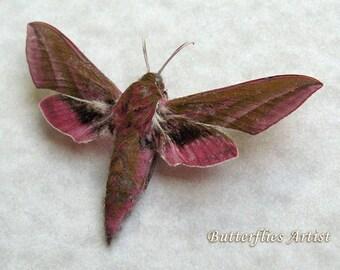 Elephant Hawk-moth Deilephila Еlpenor Real Moth Framed In Shadowbox