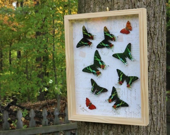 Real Framed-raised Butterfly and Moth Shadowbox