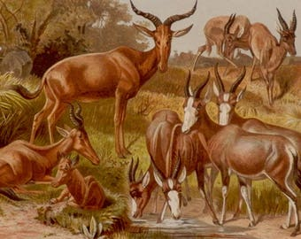 "Antique print.1884.Fauna.Mammals.ANTELOPES.Chromolithograph.Antique fauna plate 133 years old print.9.8x6.6"" or 25X17cm."