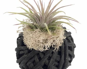 "Living Twine with Living Air Plant - 3"" x 3"" x 3.5"" - Black - Live Trends"