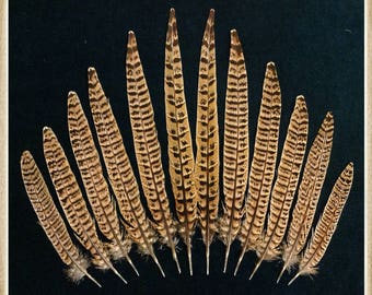 "12 - 6"" to 11 1/2"" hen pheasant tail feathers from Ringneck hen pheasants"