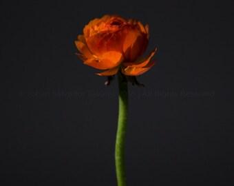 Elegant Ranunculus   Fine Art Photography   Gift Ideas for the Home