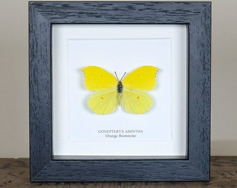 Orange Brimstone Butterfly in Box Frame (Gonepteryx amintha)