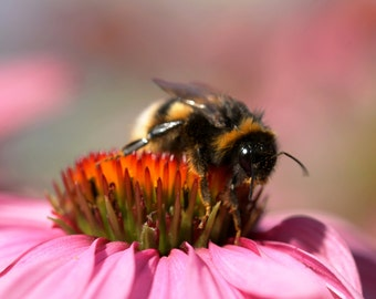 Nature print 'Busy Bee'  Bee photography print - bee print - bee wall art - bokeh photo - bee art - bumble bee photo - nature print